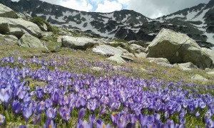 wild flowers in Pirin